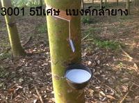 จำหน่ายกล้ายางราถูกทั่วประเทศมีสายพันธุ์ไทย-มาเลย์โทร087-9327571